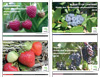 Collection Petits fruits : Guides des traitements phytosanitaires 2018 (PDF)